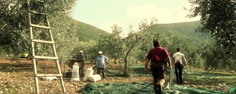 Zeytinyağı Nasıl Elde Edilir ? 113